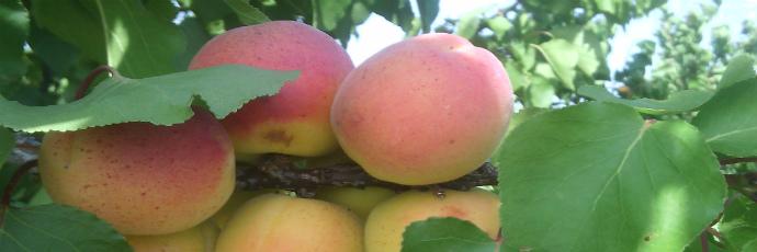 Ampuis Apricot