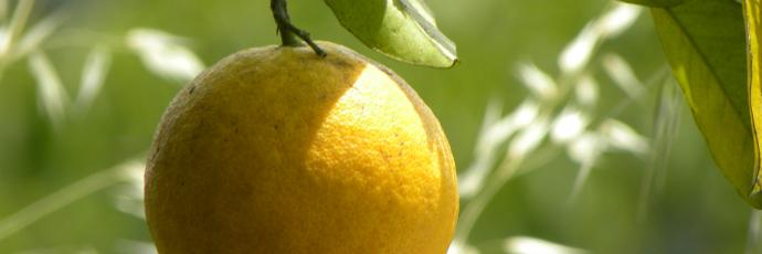 Ermelo Orange