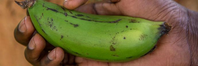 Nakitembe Banana