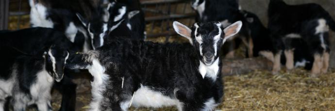 Guadarrama Goat