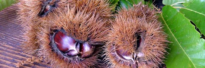 Chestnuts from Serrania de Ronda and Sierra de las Nieves
