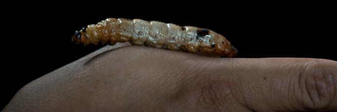White Maguey Worm