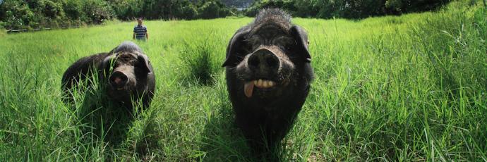 Okinawa Black Pig