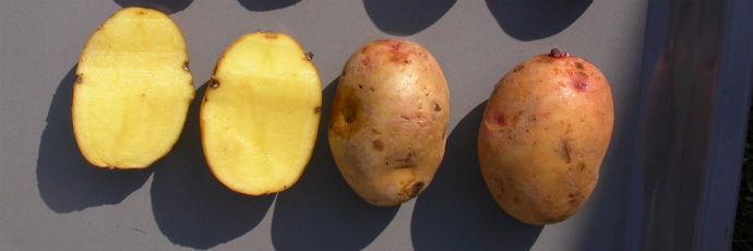 Scheckerl Potato