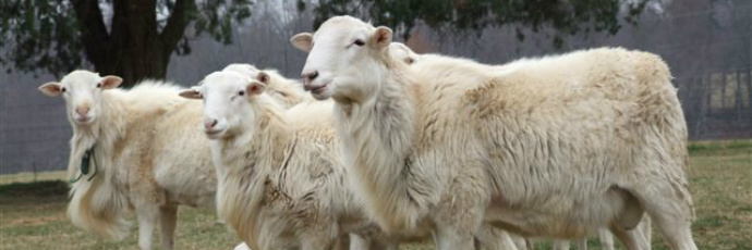 St  Croix Sheep - Arca del Gusto - Slow Food Foundation