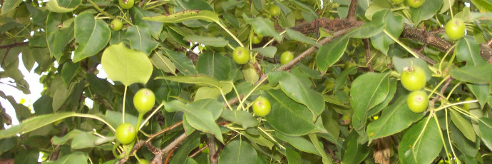 Hwangsil Pear
