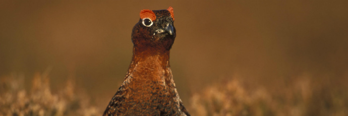 British Red Grouse