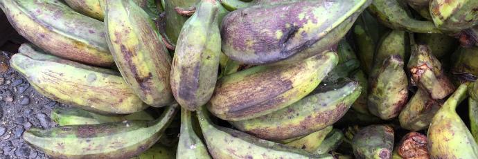 Popocho plantain