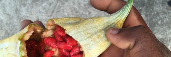 Elejo Tomato (Snake Tomato)