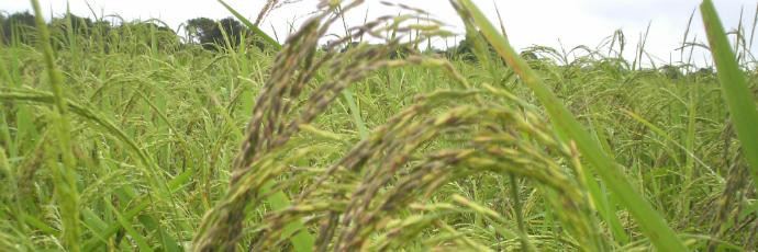 Bajong Rice
