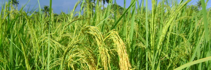 Biris Rice