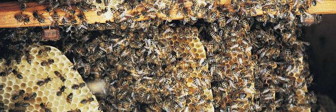 Çamlihemşin Black Bee Honey