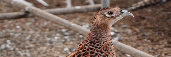 Pheasant Yeot