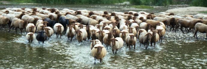 Sologne Lamb