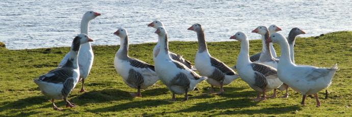 Shetland Goose