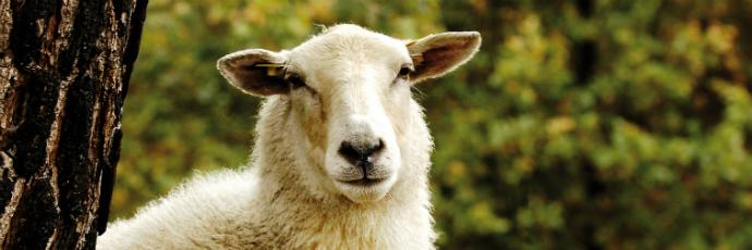 Kempen Heath Sheep