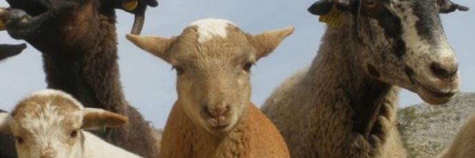 Lojan Sheep