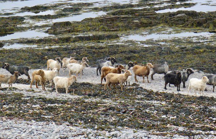 """La """"pecora delle alghe"""" primo Presidio Slow Food della Scozia"""
