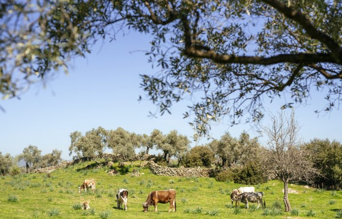 New Slow Food Presidium for Extra-Virgin Olive Oil from the Indigenous Landscapes of the Aegean