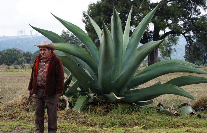 Il pulque: la bevanda degli dei, ovvero il Presidio dell'agave della mixteca di Oxaca