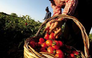 pomodori mercati terra