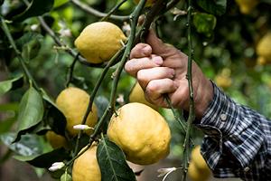 Costiera Amalfitana, limoni