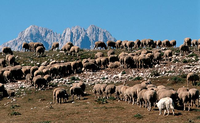 Gran Sasso, Castelli e Tratturi, pecore